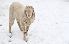 Free Curious Lamb In The Snow Stock Image - 23112901