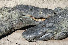 Free Alligator Pair Royalty Free Stock Photos - 23113718