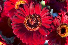 Free Red Gerberas Flowers Royalty Free Stock Images - 23116679