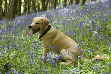 Free Gold Labrador Retriever Puppy In Bluebells Royalty Free Stock Images - 23117659