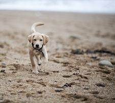 Free Gold Labrador Retriever Puppy On Beach Royalty Free Stock Photos - 23117728