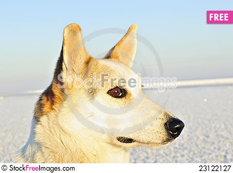 Free Winter Portrait Of A Dog. Close Up Royalty Free Stock Photography - 23122127
