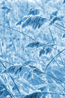 Free Reed In Frost Stock Photo - 23122400