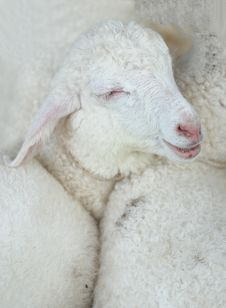 Free Sheep Baby Smile Stock Photos - 23123243