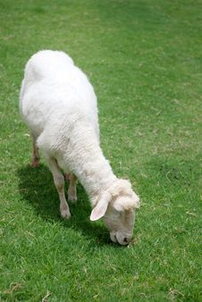 Free Sheep Enjoy The Green Grass Royalty Free Stock Photo - 23123275
