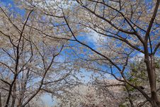 Cherry Blossoms In Spring Royalty Free Stock Image