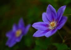 Free Pretty Blue Flowers In Spring Royalty Free Stock Photos - 23123698