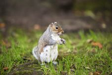 Free Grey Squirrel Royalty Free Stock Image - 23128916