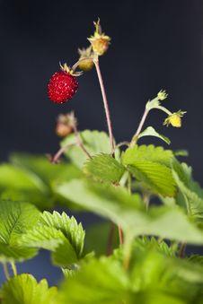 Free Wild Strawberry Stock Photo - 23128980