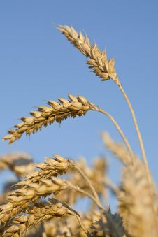 Free Ripe Wheat Ears Stock Image - 23129581