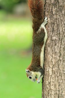 Free The Red Squirrel Stock Images - 23129954