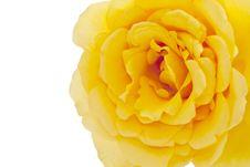 Free Yellow Rose On White Background Royalty Free Stock Photos - 23129968