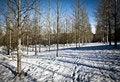 Free Silver Birch Plantation Stock Photos - 23130263