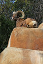 Free Bighorn Sheep Stock Photo - 23139780