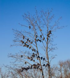Free Pigeons Sitting On The Branches Stock Photo - 23137110