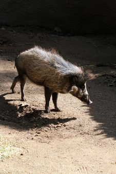 Free Wild Pig Royalty Free Stock Photo - 23139225