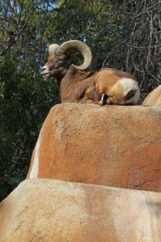 Free Bighorn Sheep Stock Photo - 23139780