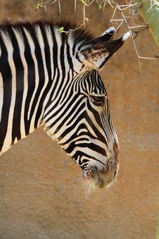 Free Zebra Stock Image - 23139981