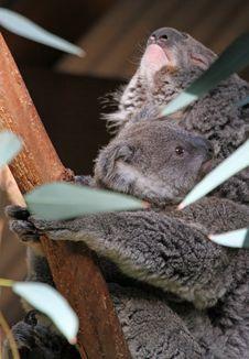 Free Koalas Stock Photo - 23140350