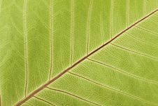 Free Close-up Of Leaf Veins Royalty Free Stock Photos - 23144968