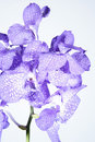 Free Orchid Violet Stock Images - 23150804
