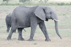 Free Elephant Royalty Free Stock Photos - 23150978