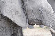 Free Elephant Closeup Stock Images - 23151004