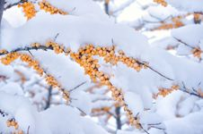 Free Fruits Of Acacia Covered With Snow Royalty Free Stock Photography - 23151257