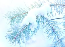 Free Pine Branch Covered Snow Royalty Free Stock Photos - 23151278
