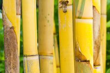 Free Yellow Bamboo Stock Images - 23151394