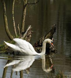 Free Swan On Lake Royalty Free Stock Image - 23156206