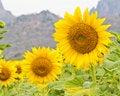Free Sunflower Stock Photo - 23163050