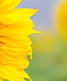 Free Sunflower Royalty Free Stock Photo - 23162995