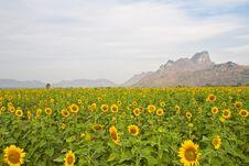 Free Sunflower Stock Photo - 23163040