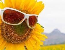 Free Sunflower With Glasses Royalty Free Stock Photo - 23163055