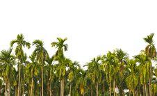 Free Betel Palm Royalty Free Stock Image - 23169656