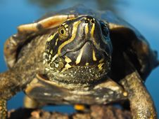 A Turtle Is Going To Attack! Royalty Free Stock Photography