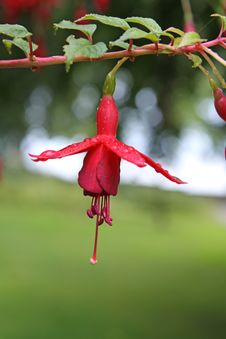 Fuchsia Stock Photos