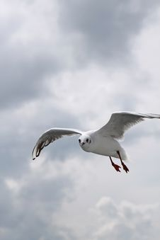 Free Seagull Royalty Free Stock Photos - 23179418
