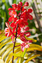 Free Branch Of Red Exotic Orchids Royalty Free Stock Photos - 23185238
