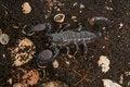 Free Black Scorpion Stock Photography - 23189362