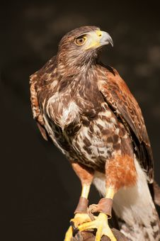 Free Falcon For Hunt Stock Photos - 23181693