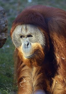 Free Orangutan Royalty Free Stock Photography - 23186067