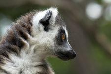 Free Lemur Royalty Free Stock Photos - 23186088
