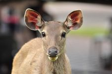 Free Sambar Deer In Khao Yai National Park Stock Photo - 23186900
