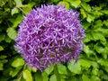 Free Purple Allium Royalty Free Stock Images - 23193859