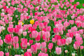 Free Tulip Stock Photo - 23194690