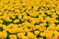Free Tulip Stock Images - 23194694