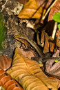 Free Delicate Whiptail Lizard In Panama Rainforest. Royalty Free Stock Photos - 23194988