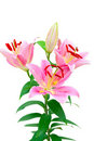 Free Lilly Flower Stock Image - 23196041